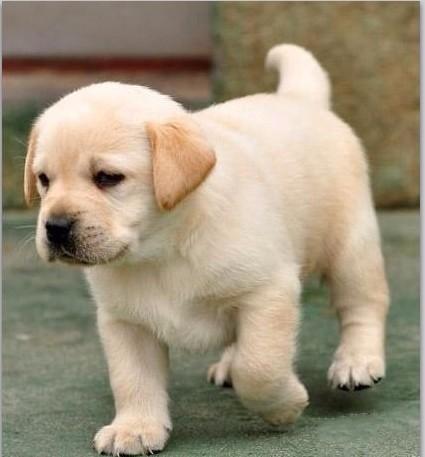 狗狗出售纯种拉布拉多犬幼犬导盲犬赛级品质神犬小七活体宠物狗狗