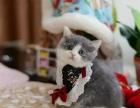 杭州猫猫纯种健康品种布偶加菲猫英美短金吉等