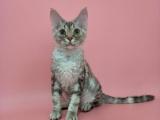 CFA注册猫舍出售德文卷毛猫,5000元