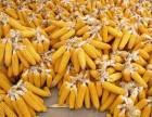 哈尔滨玉米收购 大量收购玉米厂家 玉米高价上门回收