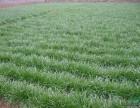 济南麦冬草绿化工程公司 麦冬苗种植基地