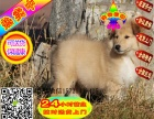 正宗活泼可爱的喜乐蒂幼犬是长不大的宠物狗狗,很正宗的