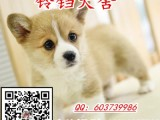 广州哪里有狗场卖柯基犬 广州纯种柯基犬一只价格多少