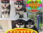 自家狗场繁殖阿拉斯加犬 随时可上门看狗 签协议
