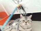 山西太原萌猫生活馆---美短种公多只、借配或转让