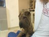 十个月中小型沙皮狗
