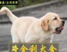 中山工作加宠物犬的赛级拉布拉多找新主人 品相佳骨架导盲犬 健