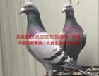 常年出售鸽子