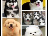 北京出售阿拉斯加比熊宠物狗狗萨摩耶幼犬专卖