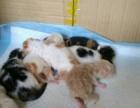 加菲猫 异国短毛猫 宠物猫 预售