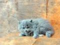 英短猫猫舍英国短毛猫猫咪
