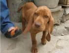 福州哪有威玛猎犬卖 福州威玛猎犬价格 福州威玛猎犬多少钱