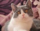 汕头哪里有卖短毛猫多少钱一只短毛猫好养吗已做疫苗包健康纯种