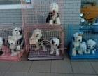 白头黑背古牧犬古代牧羊犬基地繁殖保健康保血统包售后