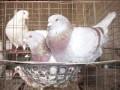 银王鸽子 出售银王种鸽