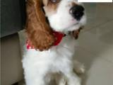 哪里出售可卡犬 纯种可卡多少钱