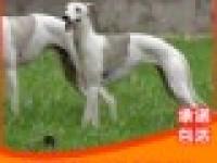 纯种 灵缇 格力 二特 惠比特 幼犬 成年犬 血统纯正