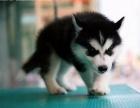 狗場出售三個月純種哈士奇,疫苗齊全健康保障