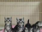 【上门可优惠】出售家养虎斑幼猫一窝 公母都有可挑选