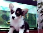 温州柯基多少钱 温州哪里卖健康的科技犬 双色柯基价格