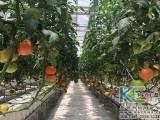 温室大棚番茄无土栽培管理技术
