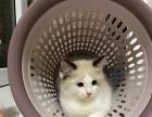 两个月海豹双色家养布偶猫接受预定