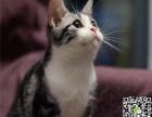自家繁育纯血虎斑猫幼猫多只弟弟妹妹都有可办理证书欢