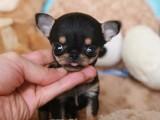 重庆出售吉娃娃犬 卖吉娃娃犬 吉娃娃
