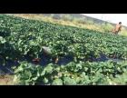 小明草莓园欢迎大家来采摘