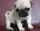 北京出售纯种巴哥犬幼犬 鹰版小巴哥宠物狗短毛小体巴哥多