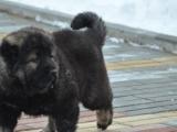 高加索4个月幼犬转让