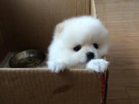 买纯种球体哈多利博美幼犬 签协议-保健康-保纯种