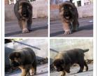 自己家养的双血统高加索犬 颜值高 忍痛出售