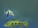 蓝帆眼斑26-27cm