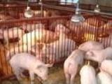 江苏三元苗猪养殖场最新仔猪行情预测生猪行