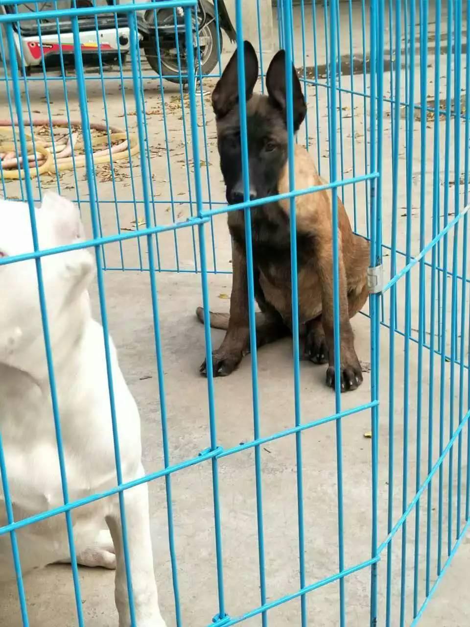 出售墨届黑狼犬牧羊犬莱州红犬狼青犬比特犬马犬杜高卡斯罗等猛犬
