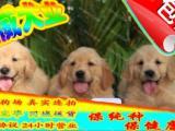 狗场繁殖 绝对纯种 签订协议 终身质保美系金毛犬