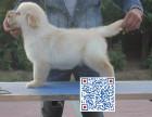 金毛幼犬天真活泼 性格好 随时可以看狗狗视频