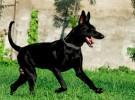 黑狼犬产地是哪里 黑狼犬3至4格月幼犬价格