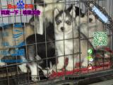 宠物店和狗市里的哈士奇可以买吗 健康的多少钱一只