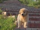 潍坊金毛多少钱 潍坊纯种金毛价格 潍坊哪里卖健康的金毛犬