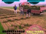 北京出售真草坪带泥土四季常青草坪草坪种子庭院绿化设计