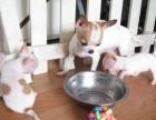 南昌最大狗场 吉娃娃犬等品种三百起 特价直销世界名犬