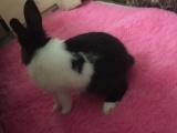 宠物兔 幼兔。