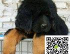 在哪里买纯种的藏獒 藏獒幼犬最低多少钱