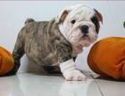 狗场里的法国斗牛犬能不能养活 价格贵不贵