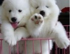 深圳熊版萨摩耶犬出售纯种萨摩耶幼犬澳版萨摩耶雪橇犬活体宠物狗
