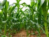 玉米硒肥 玉米有机硒肥 富硒叶面肥安徽硒无忧