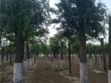 石家庄50公分法桐树基地出售优质品种