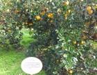 长兴岛十月份桔子采摘开始了快快看过来